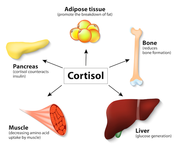 Hormone cortisol and human organs